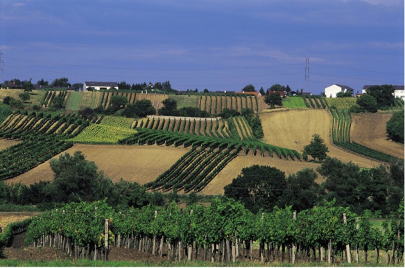 The Vineyards in Gols